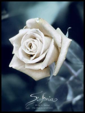 спокойной ночи розы белые картинки